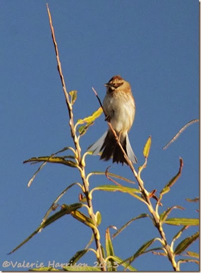 20-Reed-Bunting