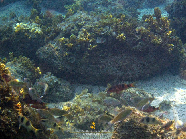 A School of Fish at Romblon's Malabiga Beach