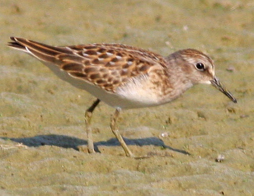 8-16-09, fish hatchery, migrating juvenile Least Sandpiper, 9:40 a.m.