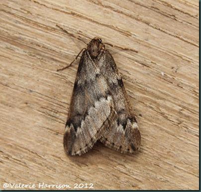 March-Moth (3)