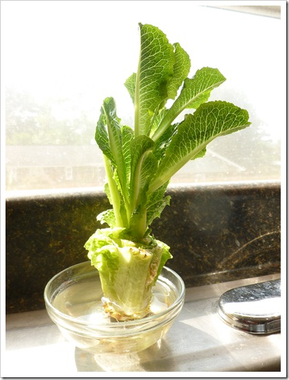 Regrow your own lettuce