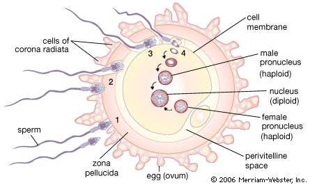 FERTILIZATION OF HUMAN EGG