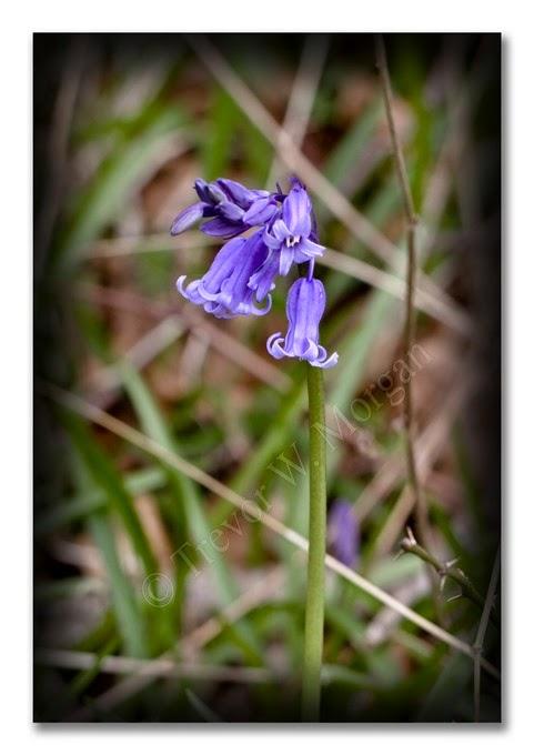 Spring 1 Bluebell
