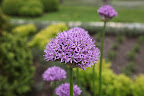 DId you know that the name, allium, comes from the Latin word for garlic?  They are actually part of the onion family along with garlic and leeks!