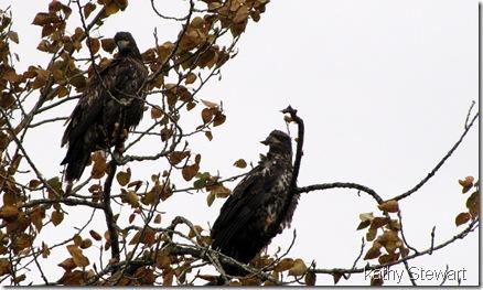 Pair of juveniles