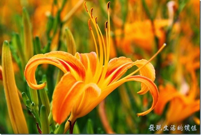 南投頭社-金針花田。這金針花開得真是漂亮,可惜他每株花苞都只能開一天,賞花要及時。