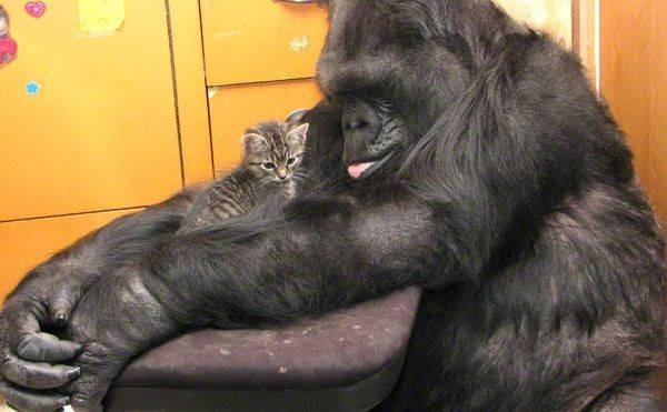 7- Onde os gorilas vão após a morte