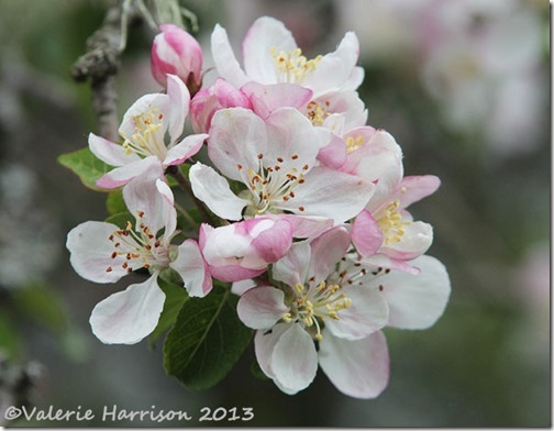 18-crab-apple-blossom