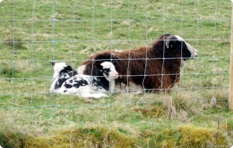 DSCF0432 Jacob's Lambs
