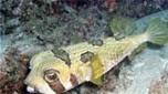 Nouvelle-Calédonie poisson porc-épic à taches noires
