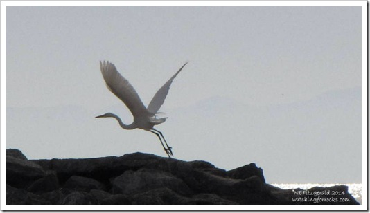 IMG_8598 GreatEgret
