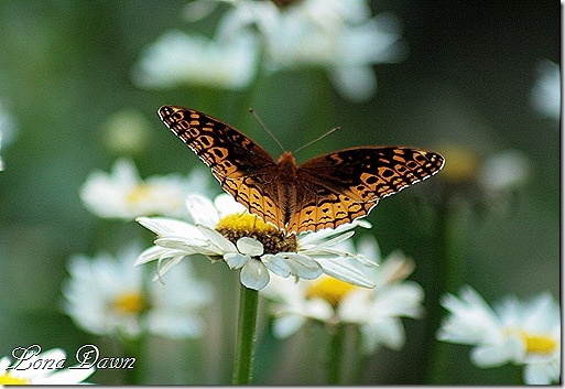Daisies_Butterfly