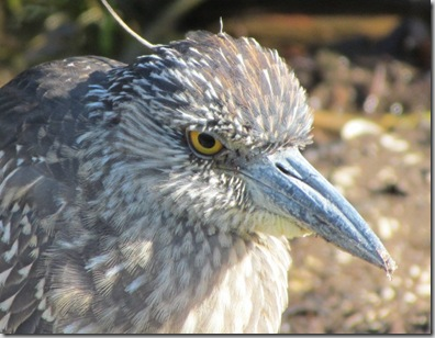 san_juv_yellow_crowned_night_heron
