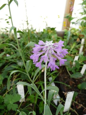 036 Primula watsonii hos Spezialplant i Hammarstrand