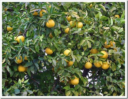 120103_grapefruit_05