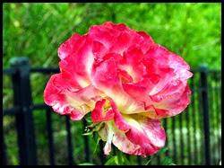 04f2 - Flowers in the Rose Garden