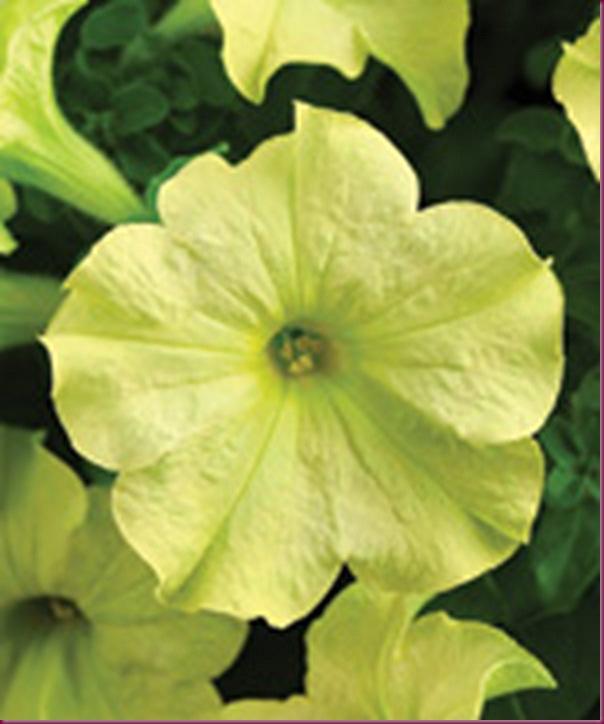 lime Green Petunia