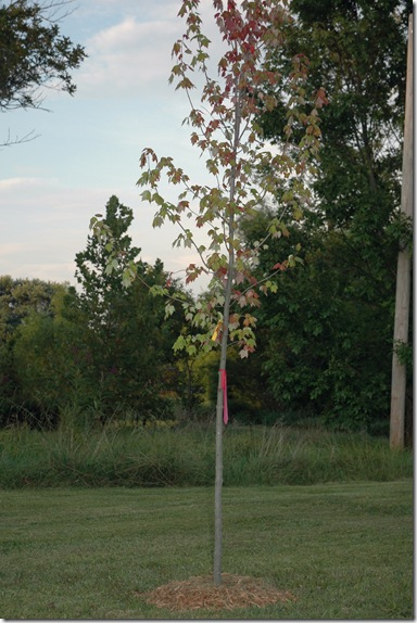 duncans maple