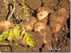 potatoes 04