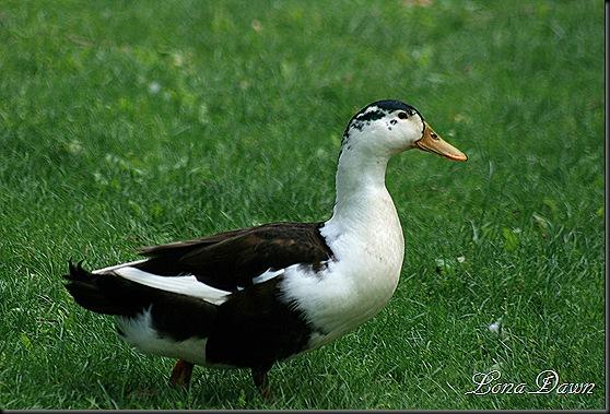 YoctangeePark_Duck