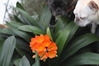 Sharkey, clivias are more commonly found bearing orange flowers, like this one.