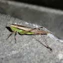 Greenish Meadow Katydid