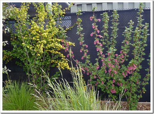 120310_UCDArboretum_Ribes-aureum malvaceum_02