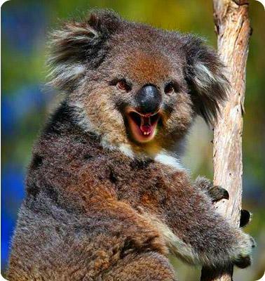 Koala-smile