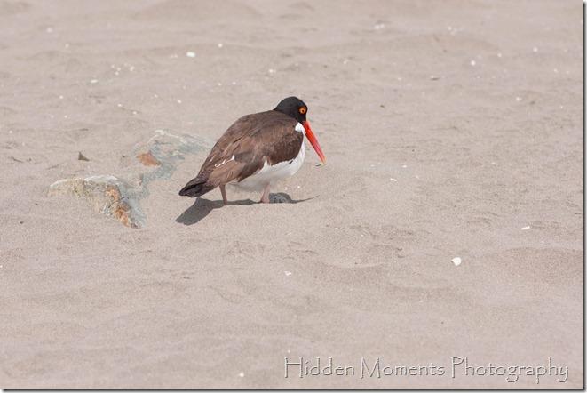 Beach Bird 13sm