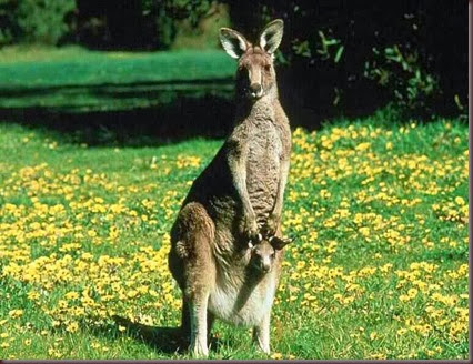 Amazing Animal Pictures Kangaroo (14)