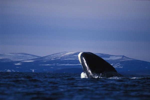 3- Baleias-da-groelândia podem viver por mais de 200 anos