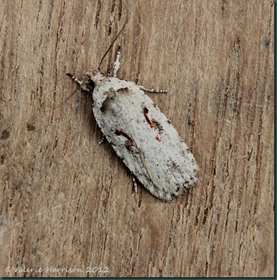 Red-letter-Flat-body-Agonopterix-ocellana