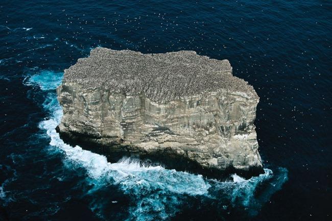 COLÔNIA DE GANSOS-PATOLA, ILHA DE ELDEY, ISLÂNDIA