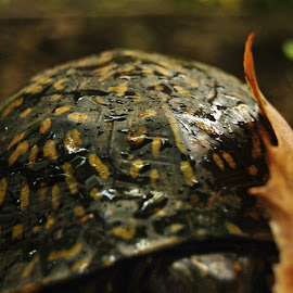 'Leopard' Turtle's shell 1 by Kelly Gamrat - Animals Reptiles ( shell, details, nature up close, turtles, turtle )