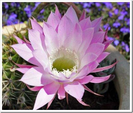 120605_pink-echinopsis_03
