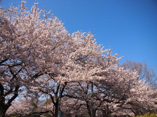 [写真]等々力緑地のソメイヨシノ
