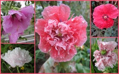 pink flowers in rain