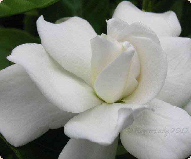 05-13-first-gardenia4