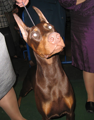 CJ, a Doberman Pinscher won Best of Breed and Best of Group to compete for Best In Show.