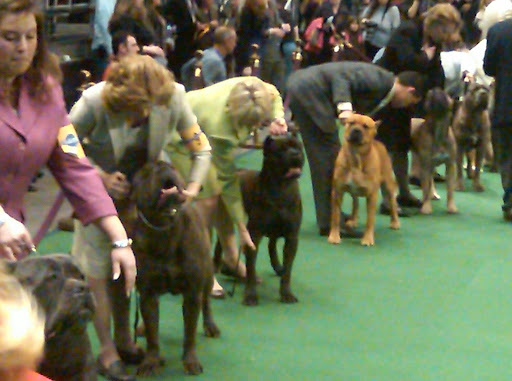 Cane Corsos in the ring