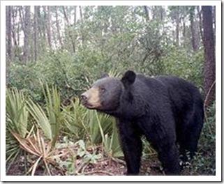 220px-A_Florida_Black_Bear