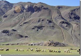 sarchu 060 moutons en bord de route