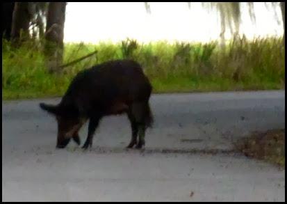01 - Wild Pig