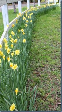 Daffodils on the fenceline