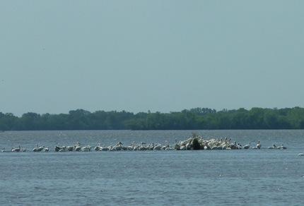 White Pelicans Beaver Dam Lake