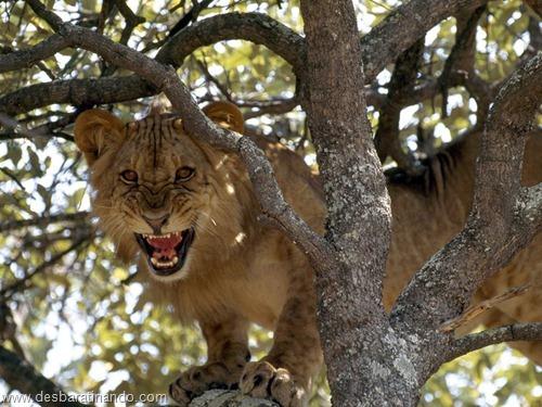 animais national geographic desbaratinando  (29)