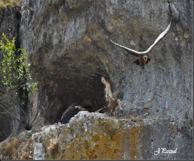 Buitre leonado (17)