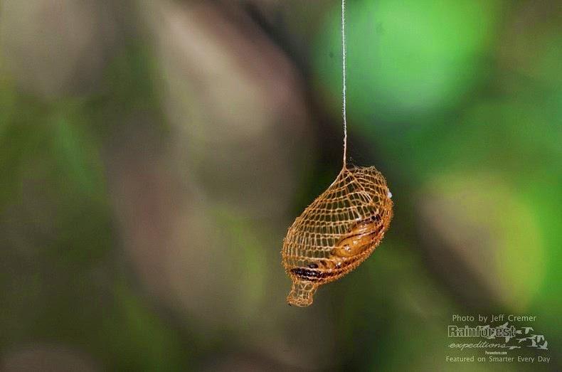 urodidae-cocoon-1
