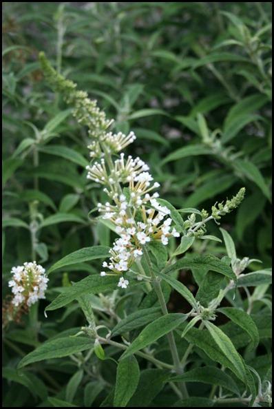 butterfly-bush2
