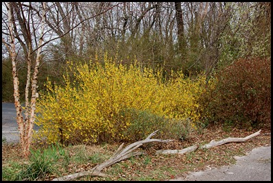 forsythia2